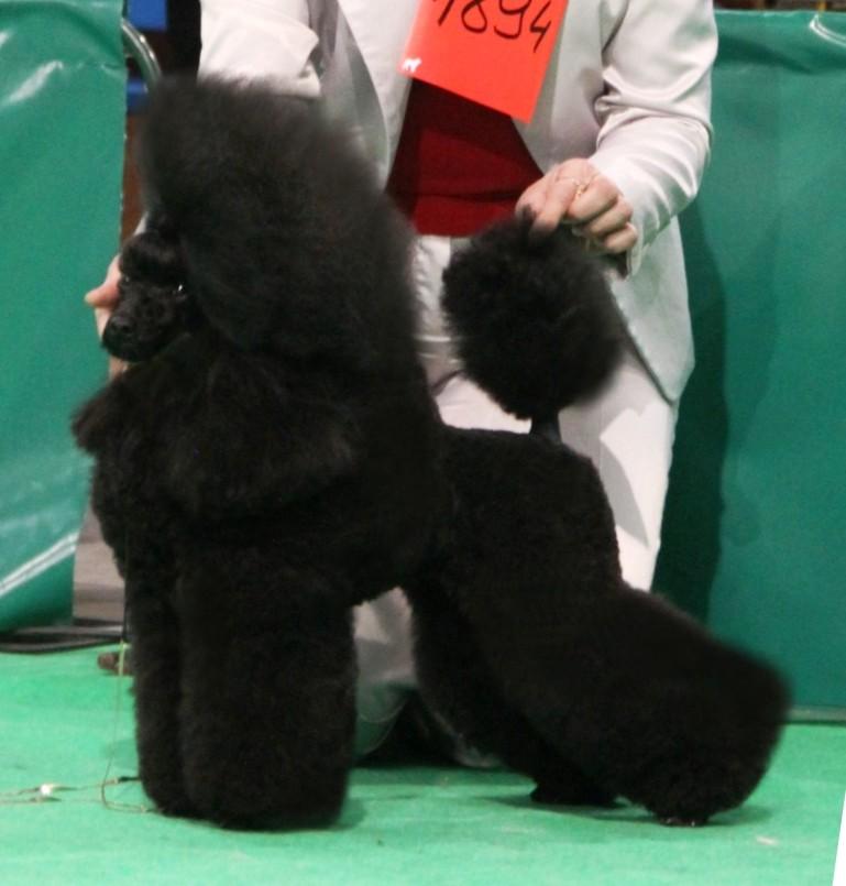 Pudel Min. Puppy Clip